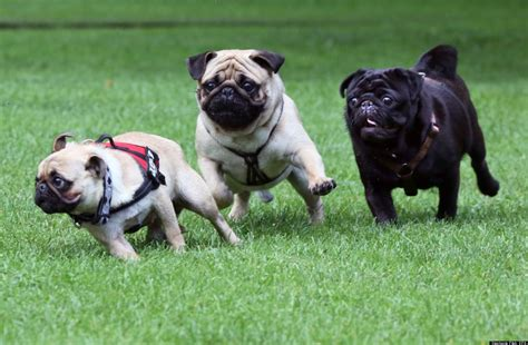 pug in german german pug races international meetups are the best thing photos huffpost