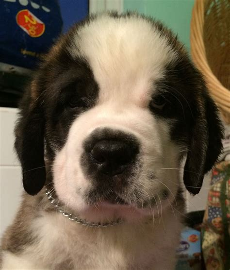 bernard puppies for sale kc reg st bernard puppies for sale lutterworth leicestershire pets4homes