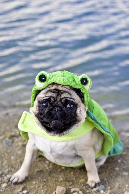 pug frog costume 25 best ideas about pug costume on pug puppies pugs in costume and black pug