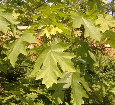 maple trees which types are best for firewood syrup shade foliage the grid news