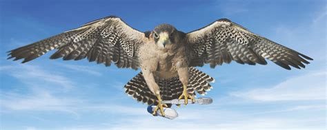 images of a falcon falcon wallpapers animal hq falcon pictures 4k wallpapers