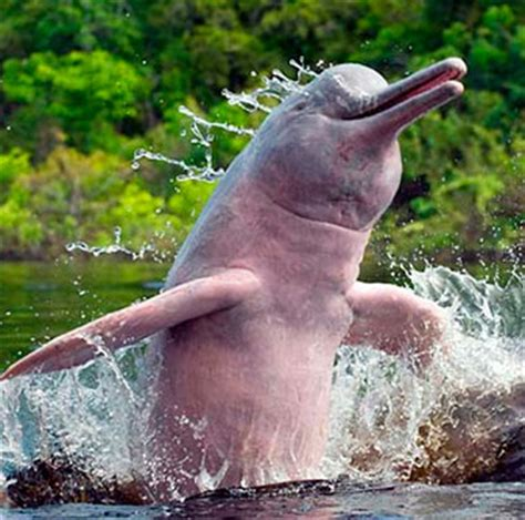 amazon river dolphin pink amazon river dolphin facts habitat diet life cycle