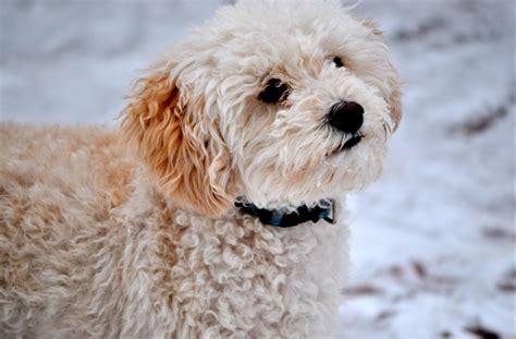 lifespan maltese poodle mix best 20 maltese poodle ideas on