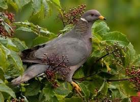 band tailed pigeon life history all about birds