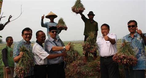 Benih Bawang Merah Nganjuk nganjuk surga bawang merah di jawa timur hortikultura