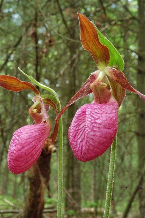 slipper flowers photo pictures slipper flower massasoit state park