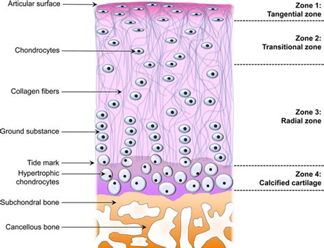 cartilage diagram chondrocyte archives height growth