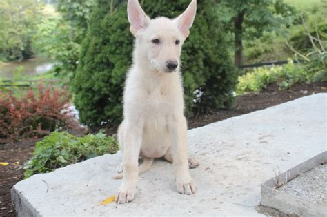 white german shepherd puppies for sale in pa pin by network34 on german shepherd puppies for sale in pa pin