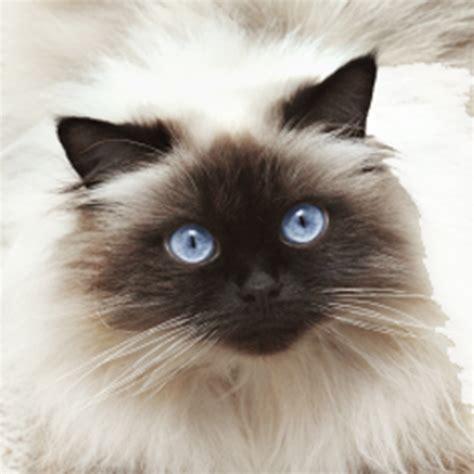 Best Makanan Kucing Maxi jual kucing hutan blacan murah hewan indonesia dan