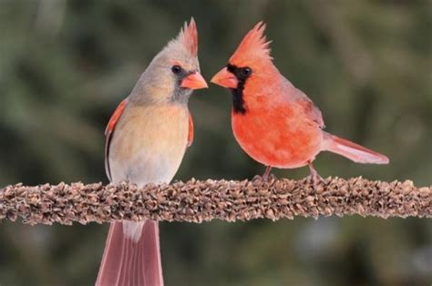 the bright red of cardinals means less in urban areas