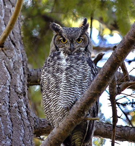 great horned owl whitle09g s blog