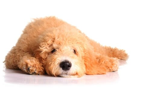 goldendoodle puppy itching groodle goldendoodle groodle goldendoodle pet insurance