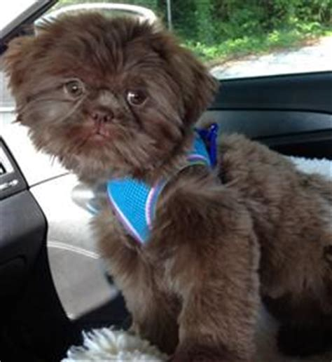 brown nose shih tzu liver colored shih tzu dogs facts and photos