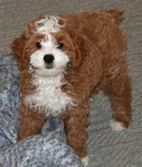 cocker spaniel poodle puppies best 20 cocker spaniel poodle mix ideas on