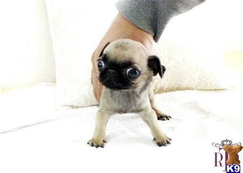 teacup pugs for sale australia black pug puppies for sale dogs breeds picture