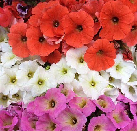 surfinie fiori surfinie rosa bianche rosse agrivaldarno mypushop