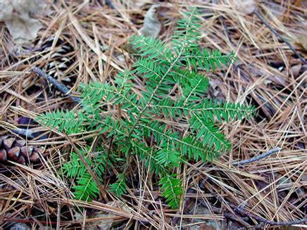 photo  hemlock seedling nature   england