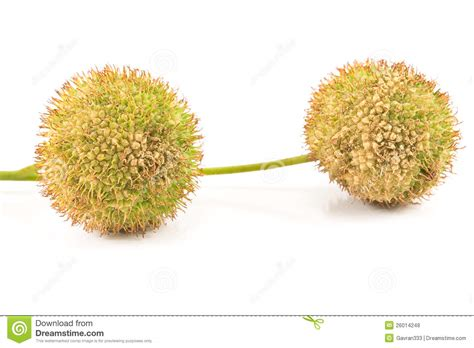 two plane tree seed balls royalty free stock photos