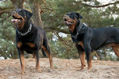 rottweiler meaning pin by dezzie webshop on kimbola s magic rottweilers en cavaliers p