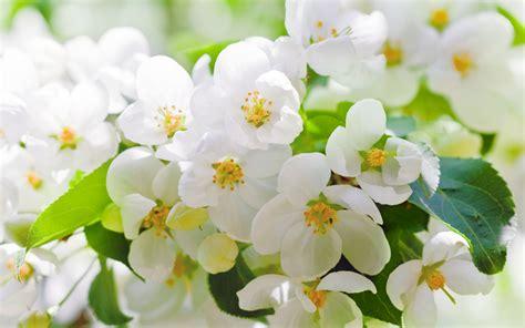 imagenes de flores y arboles cherry blossoms flowers white petals leaves branches trees