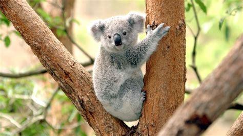 Australian 'Bear Grylls' koala hit by car and survives
