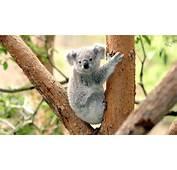 Australian Bear Grylls Koala Hit By Car And Survives