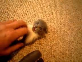 Super Small by Super Tiny And Cute Kitten Must See Very Cute Youtube