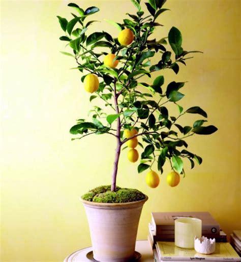 Pot Bunga Murah Pot Tanaman jual tanaman buah dalam pot tabulot murah bibitbunga