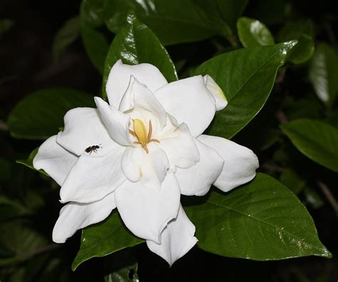 Gardenia And File Gardenia Jasminoides Flowered S1 Jpg