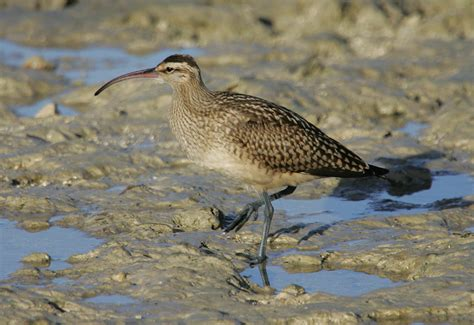 bristle thighed curlew photos