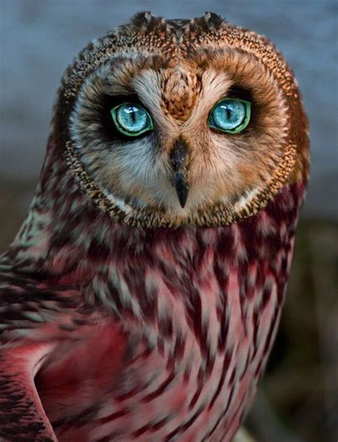 Gw Se F Green Owl owl just look n at those magnificent nature owl eye and bird