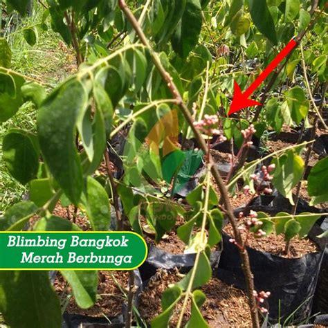 Jual Bibit Belimbing Bangkok Merah jual bibit belimbing bangkok merah 45 cm agro bibit id