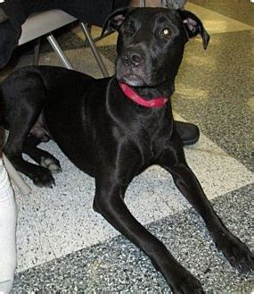 great dane lab mix puppies labradane great dane lab mix info puppies and pictures