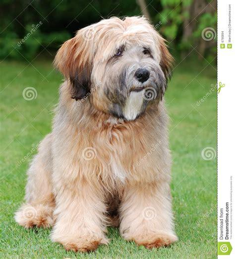 tibetan terrier puppy tibetan terrier stock images image 6790894