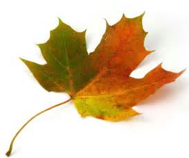 maple leaf pictures pics images and photos for inspiration