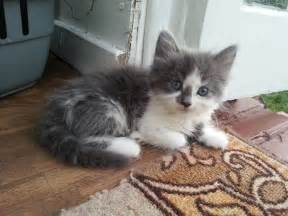 Maine Coon Kittens For Sale In Tennessee » Home Design 2017