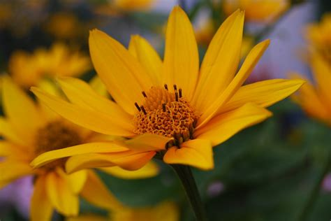 free photo sun flower summer plant bloom free image