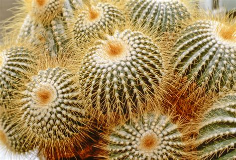 parodia schumanniana photos design ideas remodel and