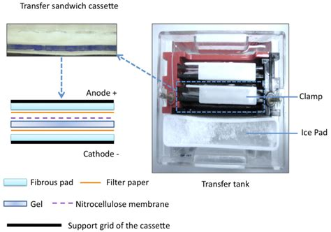 western blot cassette illustration of the setup of the sandwich cassette in the