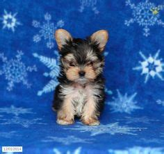 amish country puppies for sale pennsylvania puppies for sale and puppys on