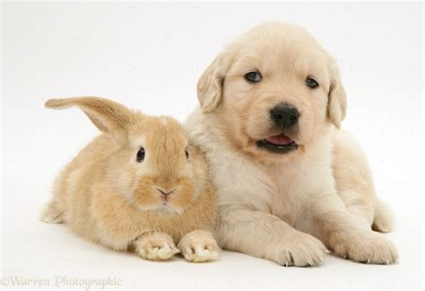 golden retriever and baby golden retriever baby for sale in 18 free wallpaper dogbreedswallpapers