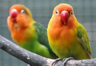 Obat Tetes Untuk Mata Kuning cara mengobati burung lovebird yang sakit mata tips