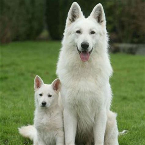 berger blanc suisse puppies berger blanc suisse breed guide learn about the berger blanc suisse