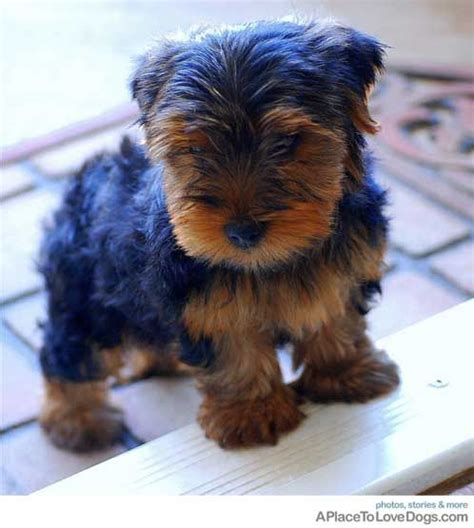 yorkies as pets yorkie pets and animals