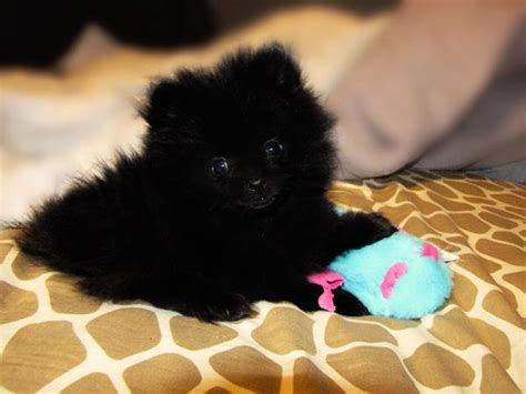 black pomeranian stuffed animal black pomeranian stuffed animal breeds picture