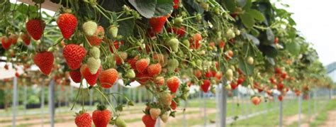 top 10 tips for growing strawberries palmers garden centre