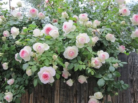 beautiful climbing plants beautiful climbing roses plants and flowers