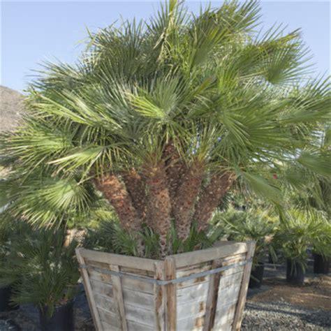 blue mediterranean fan palm for sale pala mesa nursery plant nursery in fallbrook ca palm