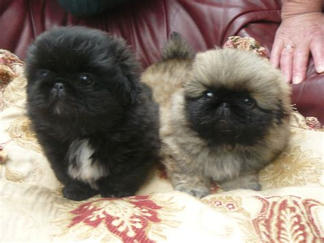 pekingese puppies for sale quality pekingese pups colwyn bay conwy pets4homes