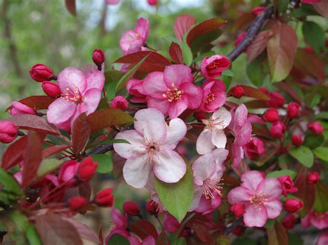 flowering crabapple trees knecht s nurseries landscaping